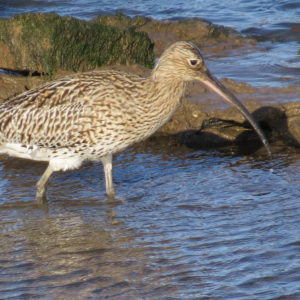 Curlew wading into water in Nidderdale - Wildlife Watching