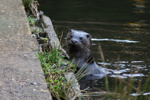 Otter spotted whilst canoeing at How Stean Gorge